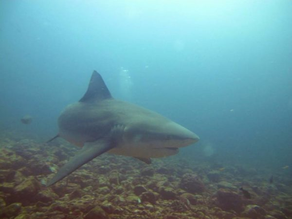 Diving With Bull Sharks in Costa Rica At The Bat Islands